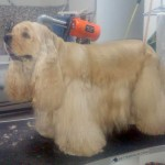 Perros de raza, corte de pelo Estepona