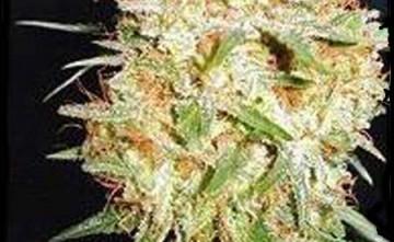Seeds Marihuana - Semillas. Critical Widow Estepona