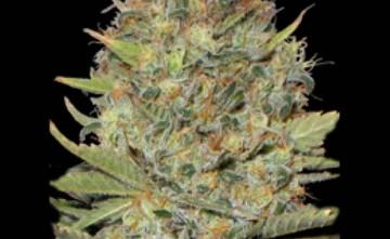 Semilla de Marihuana - Seeds Estepona